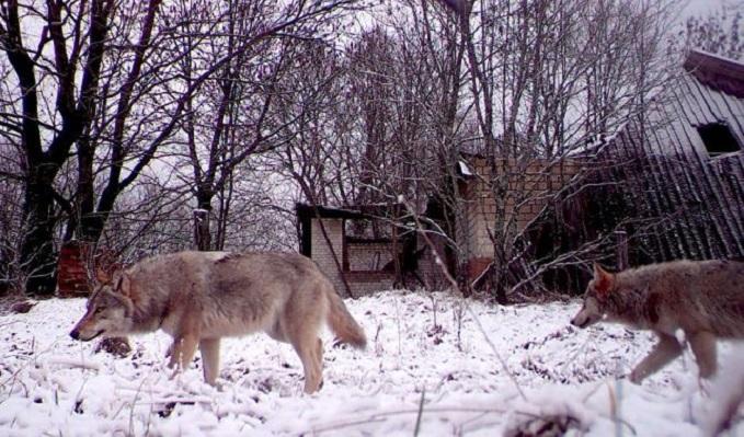 Обитатели запретной Чернобыльской зоны